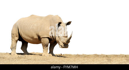 African white rhino isolated on white background - Stock Photo