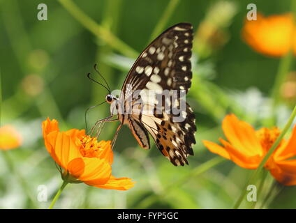 Common lime butterfly, Papilio demoleus, on cosmos flower. Also known as lemon butterfly, lime swallowtail or citrus - Stock Photo