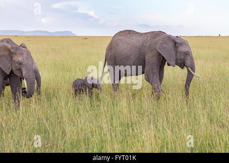 Elephants with a calf on the savanna - Stock Photo