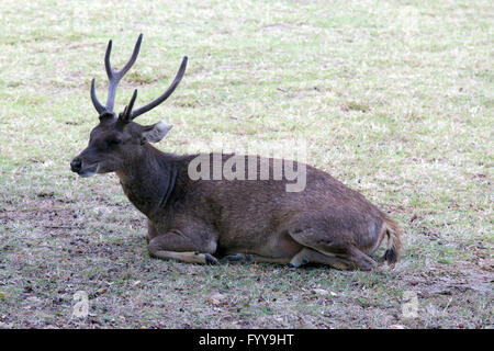Beautiful image of red deer in Indonesia - Stock Photo