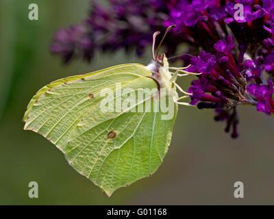 Common Brimstone (Gonepteryx rhamni) sitting on summer lilac - Stock Photo