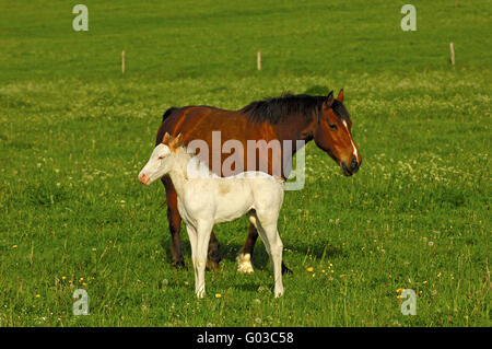 Hanoverian mare and a grey horse foal - Stock Photo