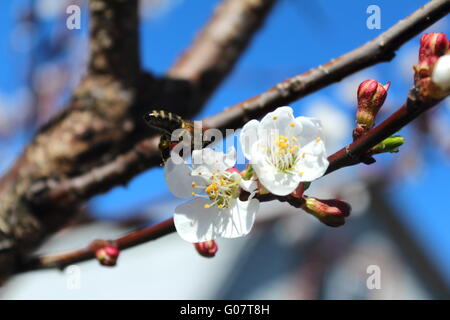 White apricot flowers on the background of blue sk - Stock Photo