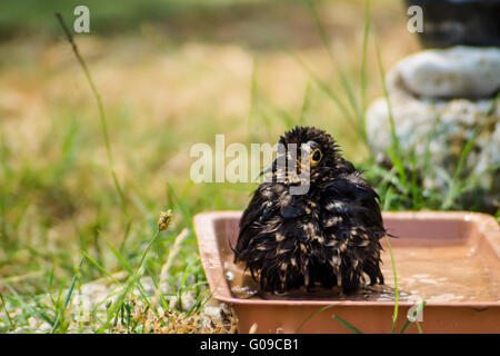 Blackbird has a bath in bird's drinks - Stock Photo