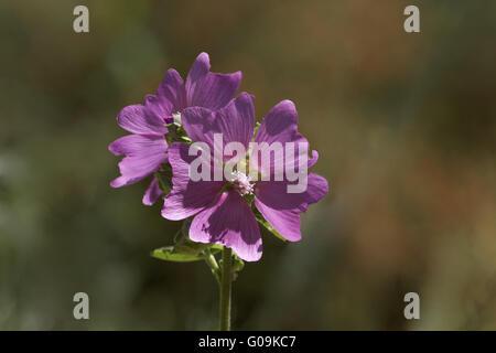 Malva alcea, Greater Musk mallow, Hillyhock mallow - Stock Photo