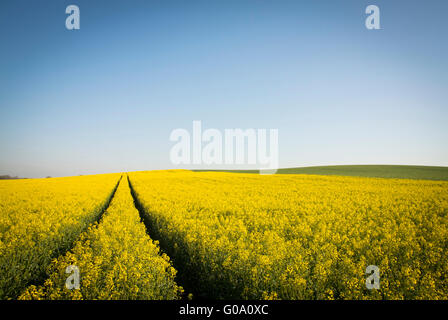 Tractor lanes through a field of Rapeseed. - Stock Photo