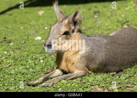 Patagonian hare or mara 1 - Stock Photo