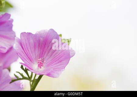 Musk-Mallow blossom - Stock Photo
