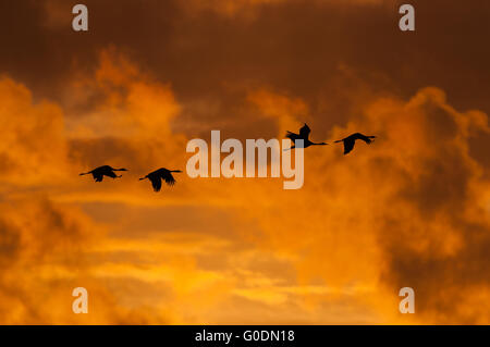 Common cranes Germany - Stock Photo
