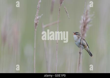 Warbler Hungary - Stock Photo