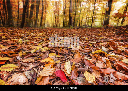 Fall leaves in forest - Stock Photo