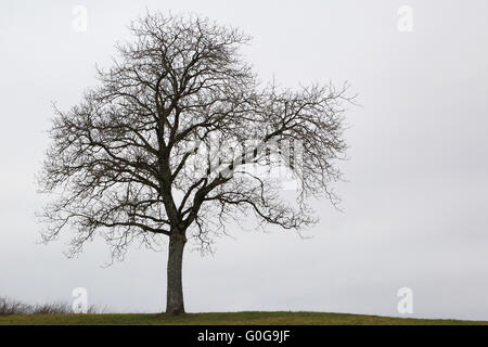 walnut tree without leaves - Stock Photo