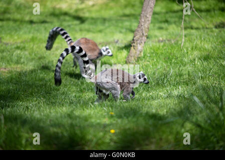 Lemur in Prague ZOO in Czech republic - Stock Photo