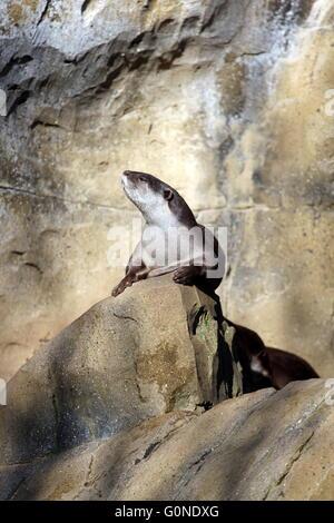 Sunbathing Otter taken at Colchester Zoo.. - Stock Photo