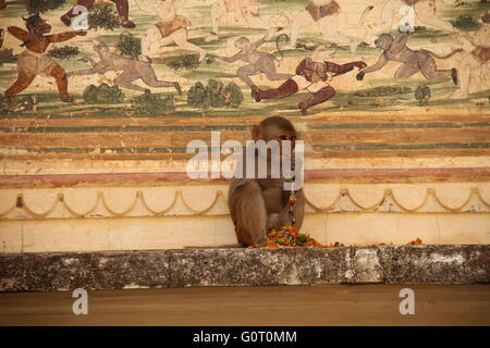 It is a picture of a monkey eating flowers in Galtaji (Monkey Temple) in Jaipur, India. - Stock Photo