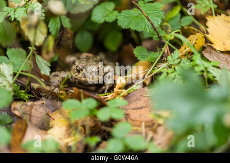 Common frog Rana temporaria in leaf litter - Stock Photo