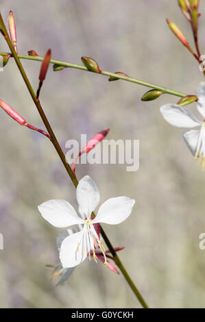 Gaura, Gaura lindheimeri 'Whirling butterflies', Beauty in Nature, Colour, Cottage garden plant, Creative, Flower, - Stock Photo