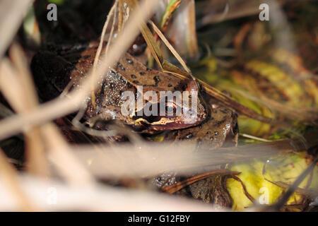 Common English frog rana temporaria in a garden pond - Stock Photo