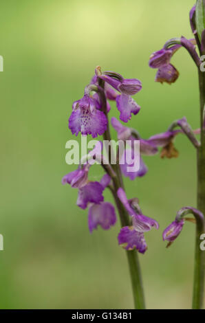 Green-winged orchid, green-veined orchid, Anacamptis morio, Bordeaux, France. - Stock Photo