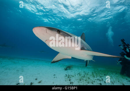 Caribbean reef shark, carcharhinus perezii, underwater in the Bahamas, Caribbean . - Stock Photo