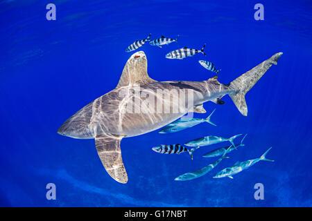 Oceanic Whitetip Shark with pilot fish and rainbow runners around it - Stock Photo