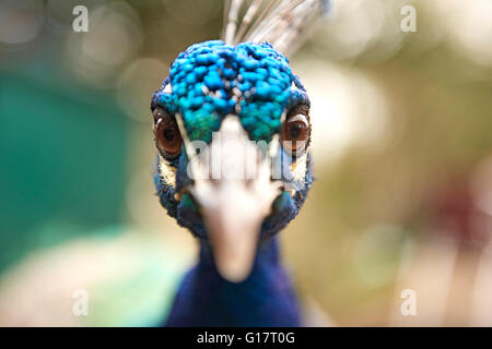 Close up portrait of staring blue peacock - Stock Photo