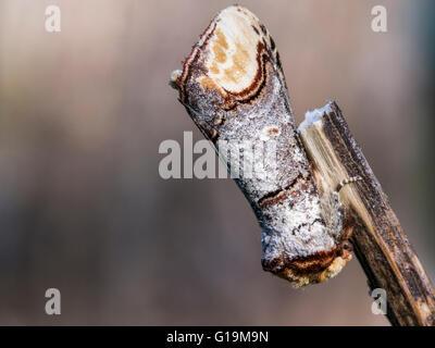 The Buff-tip Moth (Phalera bucephala) - Stock Photo