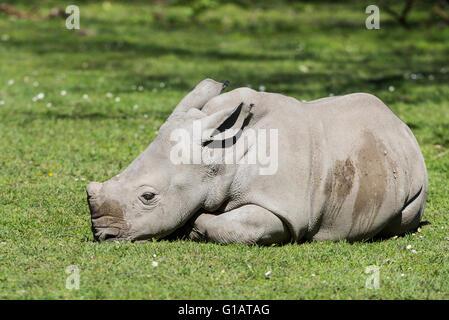 Ceratotherium simum simum,Breitmaulnashorn,Huftier,Säugetier, White rhinoceros,cub,Jungtier, - Stock Photo
