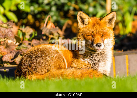 An urban fox sunbathing in a north London garden, UK. - Stock Photo