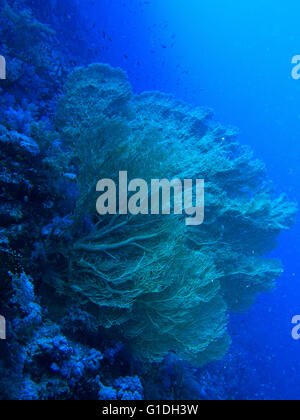 Giant Gorgornian Sea fans in the deep blue. - Stock Photo