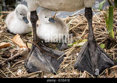 London, UK. 14th May, 2016. One day old mute swan cygnet hatchlings on Canada Water pond Credit:  Guy Corbishley/Alamy - Stock Photo