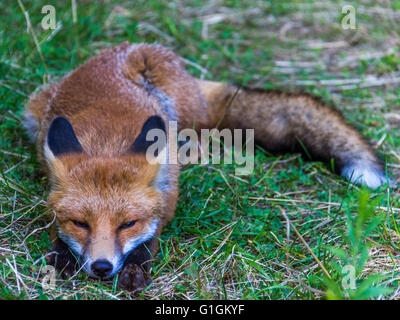 red fox playing in the grass - Stock Photo