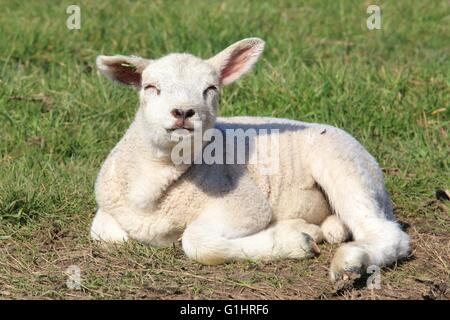 A lamb lying in a meadow - Stock Photo