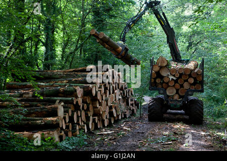 Forest of Dean, Gloucestershire. A forwarder stacks cut logs of Forestry Commission douglas fir from an area being - Stock Photo