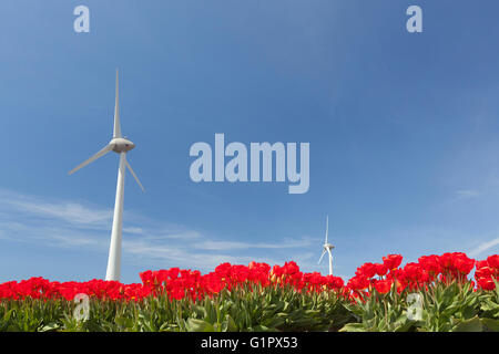 vibrant red tulips and wind turbine against blue sky in noordoostpolder part of holland - Stock Photo