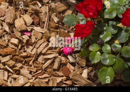 Mulch for bedding roses and plants - Stock Photo