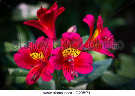 Alstroemeria, commonly known as the Peruvian lily or lily of the Incas - Stock Photo