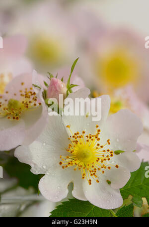 Flowers dog-rose (Rosa canina) and dew drops - Stock Photo