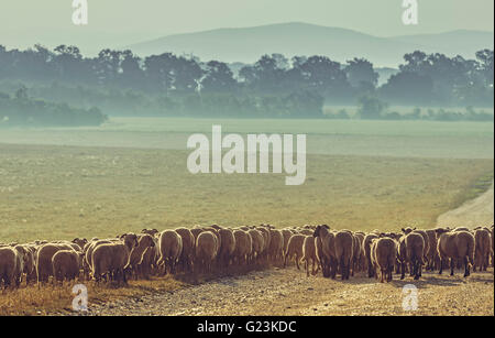 Flock of sheep grazing on a pasture early in the morning, in Transylvania region, Romania. - Stock Photo