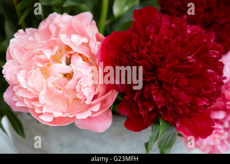 Two peony flowers in red and pink colors with leaves - Stock Photo