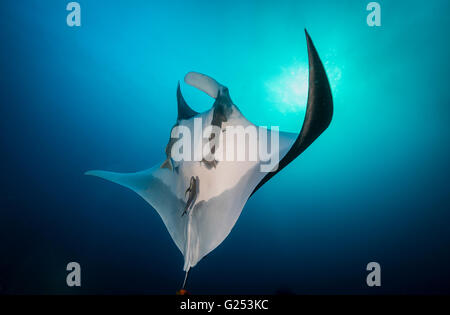 Oceanic Manta ray swimming Socorro, Mexico - Stock Photo