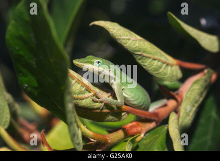 Green anole (Anolis carolinensis) lizard on plant, Sarasota, Florida, America, USA - Stock Photo