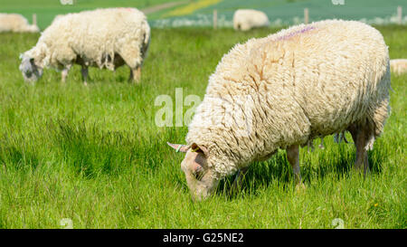 A flock of white sheep grazing (Ovis Aries) in a field on the South Downs in West Sussex, England, UK. - Stock Photo