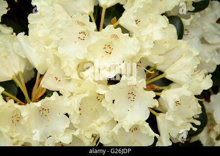 Rhododendron white flowers close up - Stock Photo