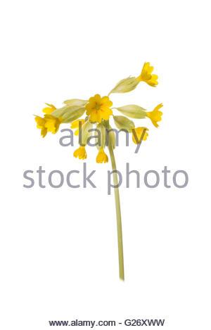 Primula veris - Common Cowslip. - Stock Photo