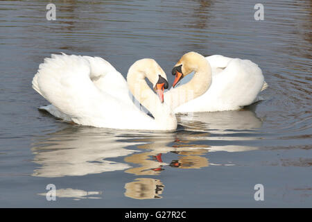 Two swans courting each other - Stock Photo