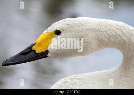 Head, neck and beak of a Bewick Swan Cygnus columbianus - Stock Photo