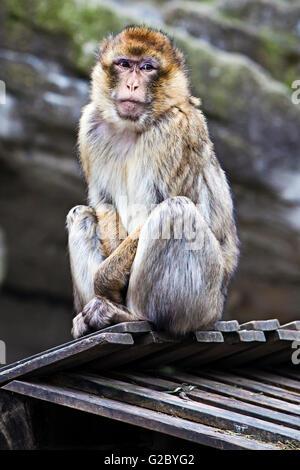 Barbary Macaque (Macaca sylvanus) in Tiergarten Schoenbrunn zoo, Vienna, Vienna State, Austria - Stock Photo