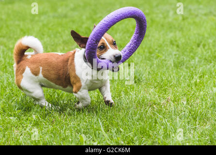 Funny brown dog running and playing with puller toy - Stock Photo