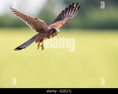 Hovering wild male Kestrel (Falco tinnunculus) - Stock Photo